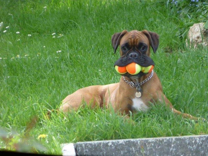 cão e bola de tenis
