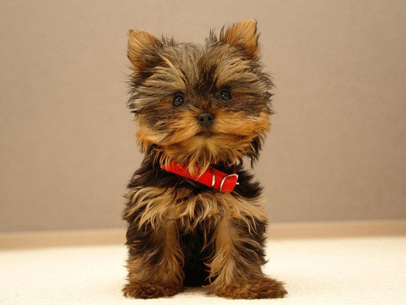 yorkshire_terrier-1356358251-495-d_pic