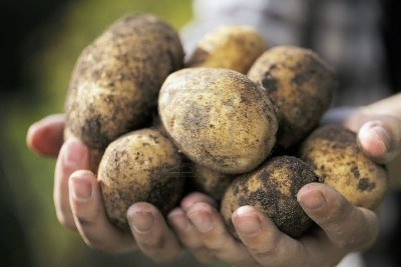 10737629-farmer-holding-harvested-dirty-potatoes-in-his-hands-very-short-depth-of-field