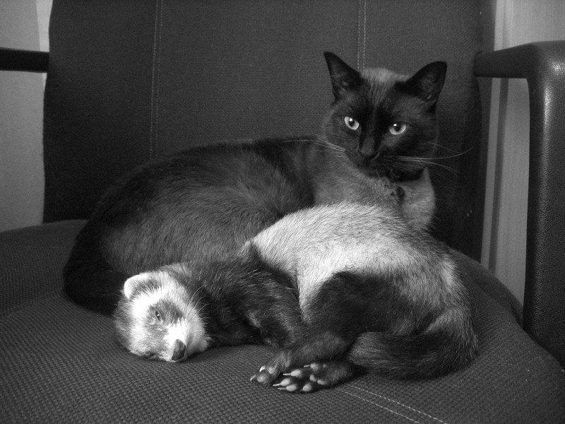 cat-and-ferret-11