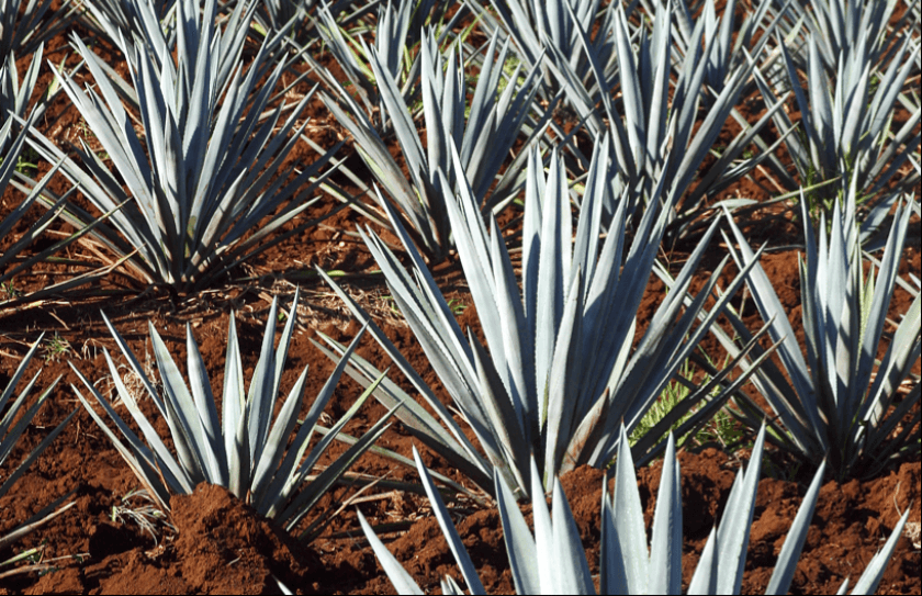 agave_plants_840_543_100