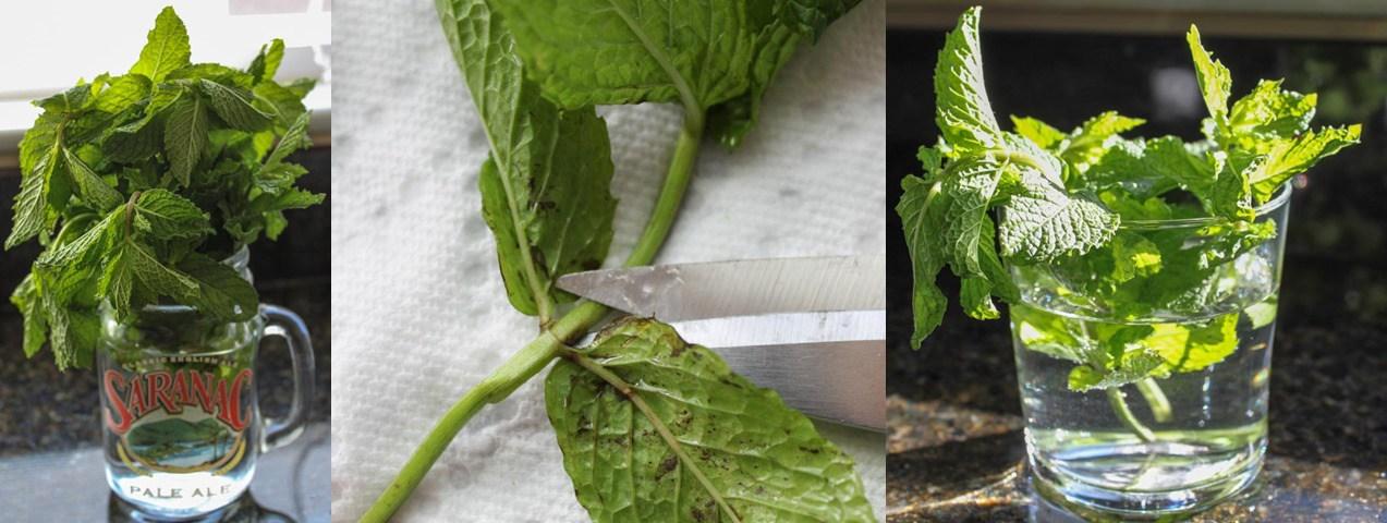 plantando hortela