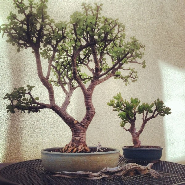 bonsai_sossolteiros_vivadecora