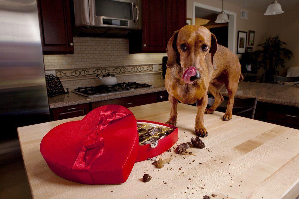 cachorro-comendo-chocolate
