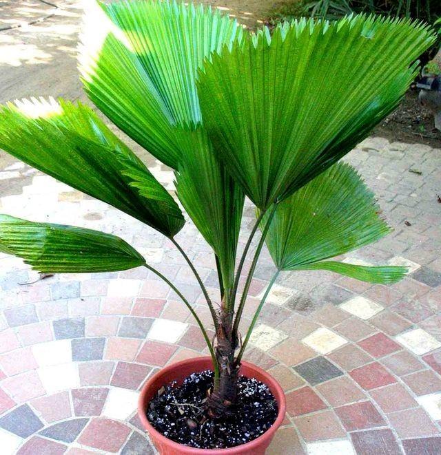 palmeiralicuala_sossolteiros_vivadecora