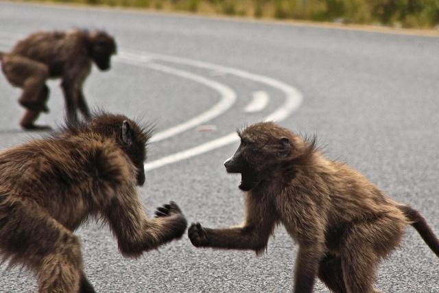 babuino_macho_beta_sos_solteiros