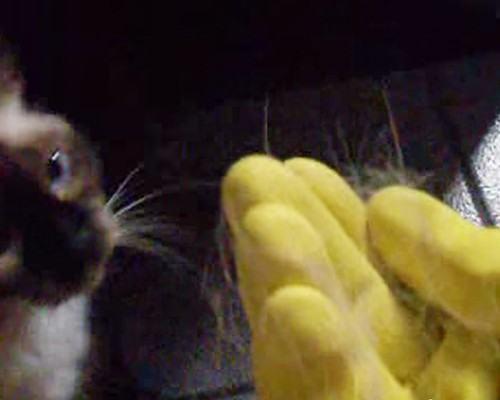 pelo gato luvas