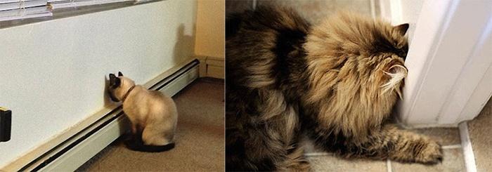 sos solteiros gatos pressionando a cabeça na parede