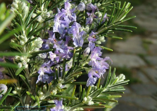 CPT, http://www.cpt.com.br/cursos-plantasmedicinais/artigos/medicina-natural-alecrim-rosmarinus-officinalis