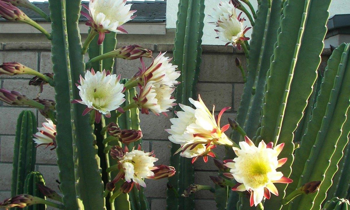 SL Flores e Cia, http://www.slfloresecia.com.br/site/cereus-peruvianus-cacto-vela/