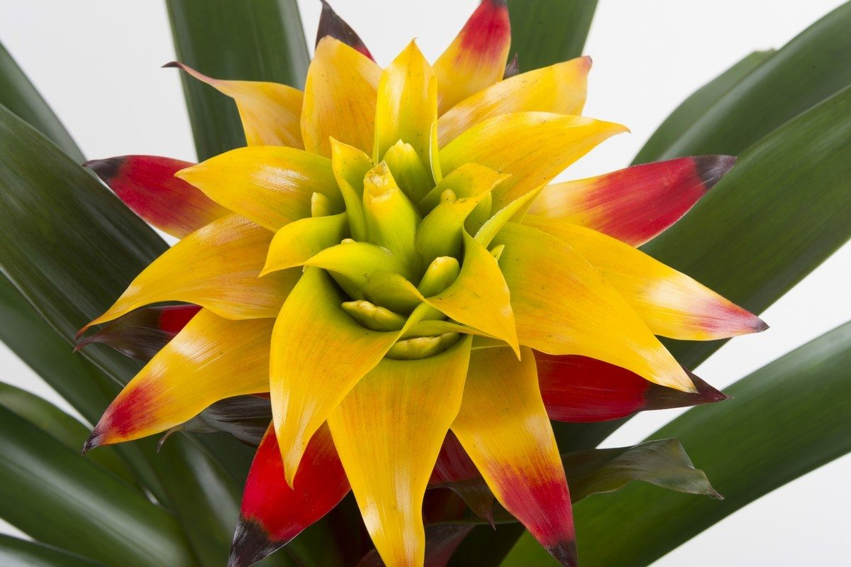 Gellert's, http://www.gellerts.co.nz/index.cfm/page/guzmania-varieties?&pageNo=2