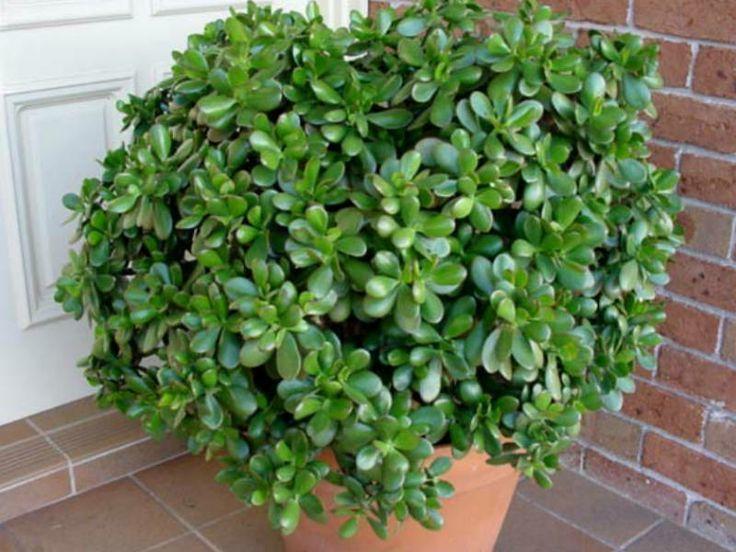 Giardinaggio, http://www.giardinaggio.net/giardino/piante-grasse/crassula.asp