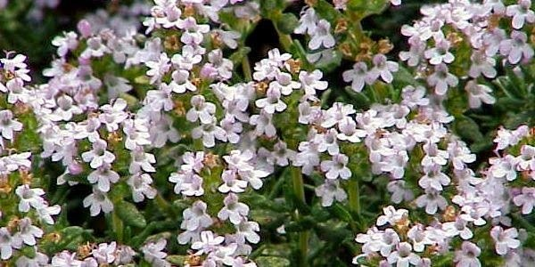 Plantas Medicinais e Fitoterapia, http://www.plantasmedicinaisefitoterapia.com/tomilho-thymus-vulgaris.html