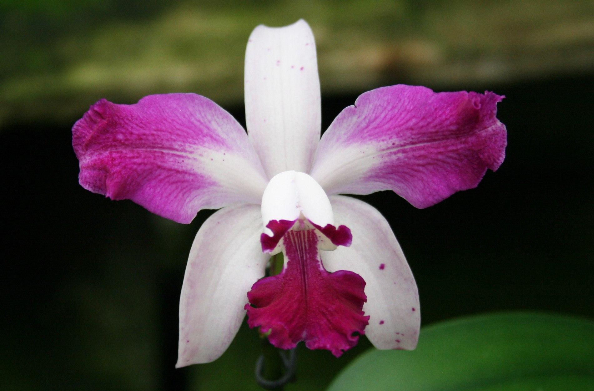 Petrens Orchid Shop, http://www.petrensorchidshop.eu/products/cattleya-interglossa