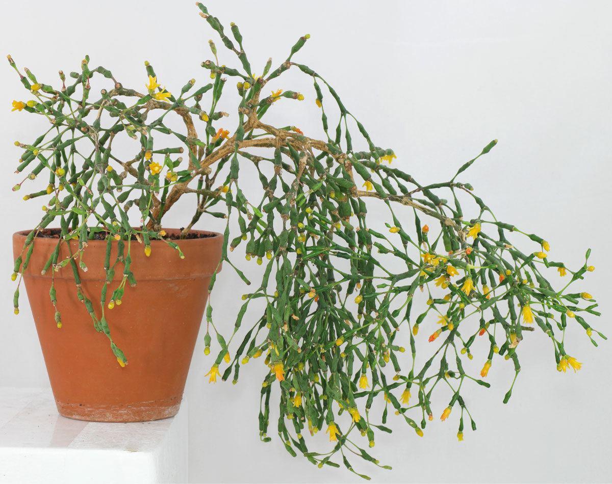 Plantis info, https://plantis.info/pt/hatiora-salicornioides/