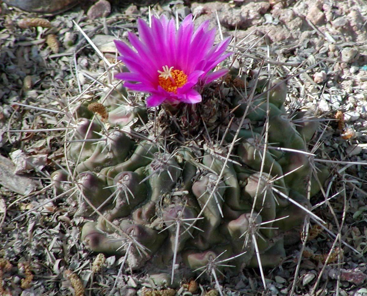 Plant Lust, http://plantlust.com/plant_index/Thelocactus