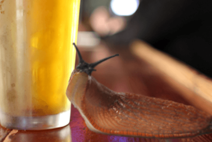 Mentalfloss, http://mentalfloss.com/article/59190/why-do-slugs-love-beer