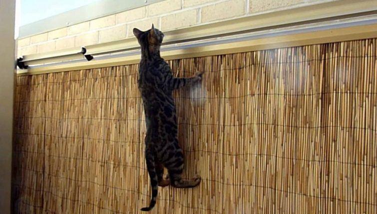 oscillot-gato-sosolteiros
