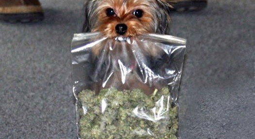 Zenpype, https://zenpype.com/10-steps-to-teach-your-dog-to-find-your-lost-marijuana/