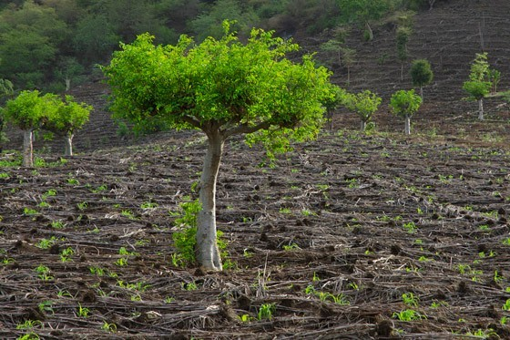 Época, http://epoca.globo.com/colunas-e-blogs/viajologia/noticia/2015/06/moringa-arvore-magica-que-pode-acabar-com-fome-no-mundo.html