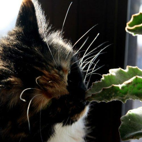 gato_planta_sossolteiros