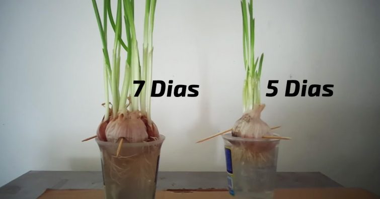 como replantar alho