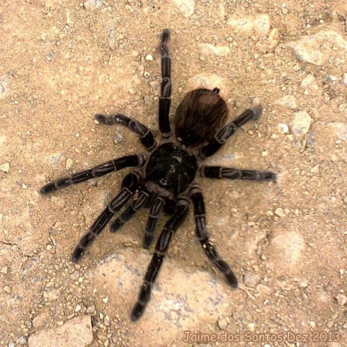 Insetologia, https://www.insetologia.com.br/2013/12/aranha-caranguejeira-em-santa-catarina.html
