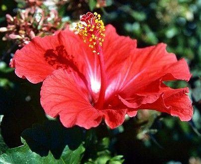 Flores, <a href=